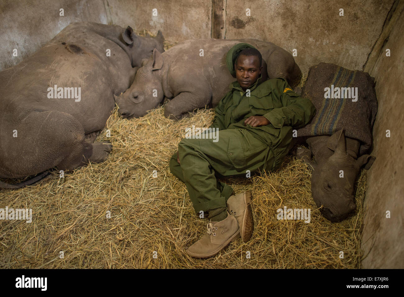 Yusuf, a keeper at the Lewa Wildlife Conservancy in central Kenya slept among orphaned baby rhinos. The calf he - Stock Image