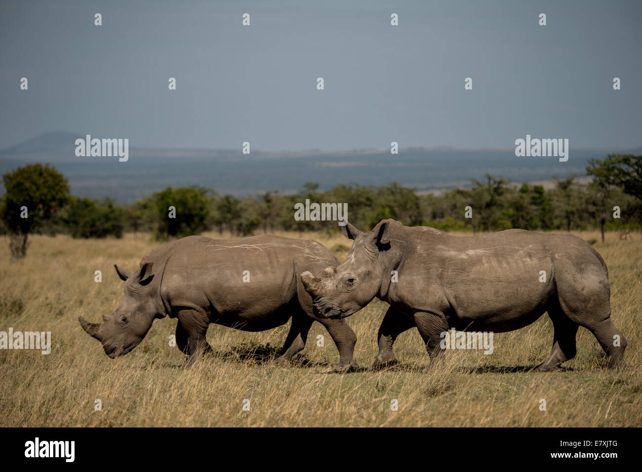 Fatu, (with sawed off horn) socializes with southern white rhinos at Ol Pejeta Nature Conservancy in Kenya, She - Stock Image