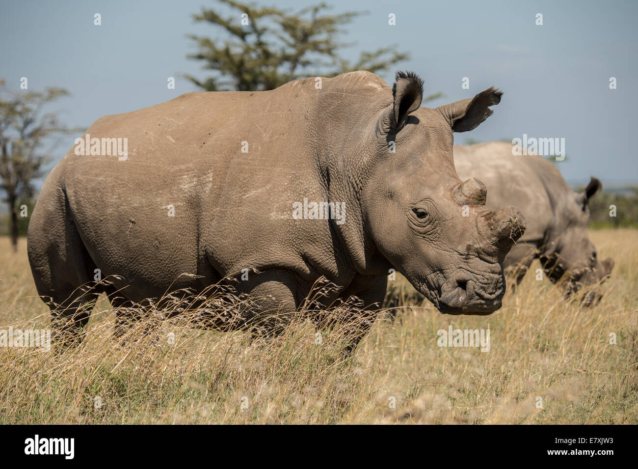 Fatu, (with sawed off horn) socializes with southern white rhinos at Ol Pejeta Nature Conservancy in Kenya. She - Stock Image