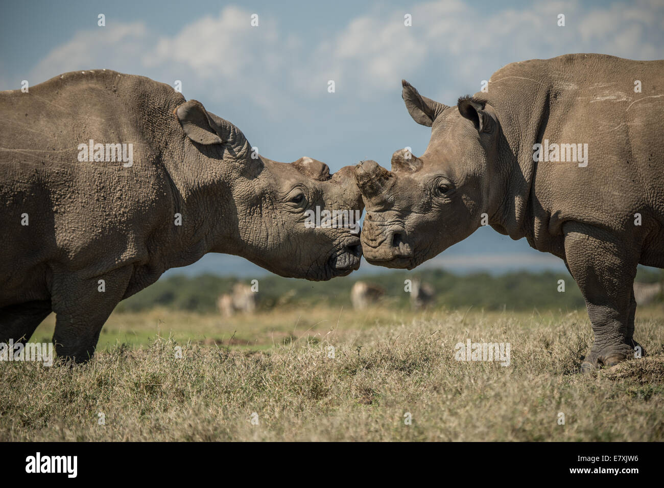 Sudan socializes with southern white rhinos at Ol Pejeta Nature Conservancy in Kenya, He is one of the last four - Stock Image