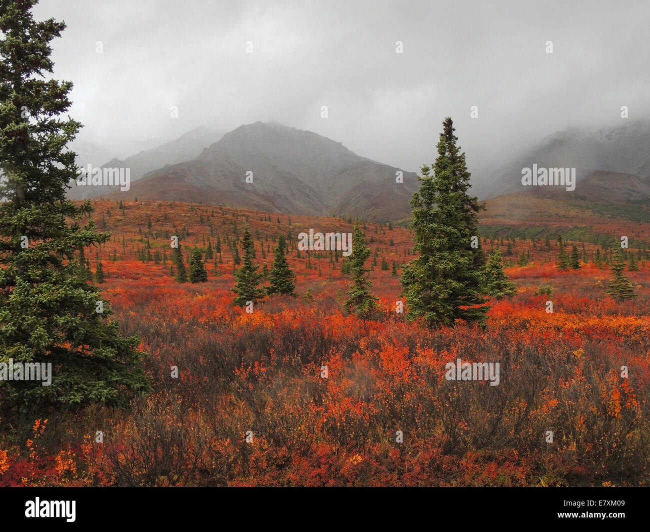 Black and White Spruce trees dot the firey tundra of dwarf birch, dwarf willow, blueberry and other subarctic plants. - Stock Image