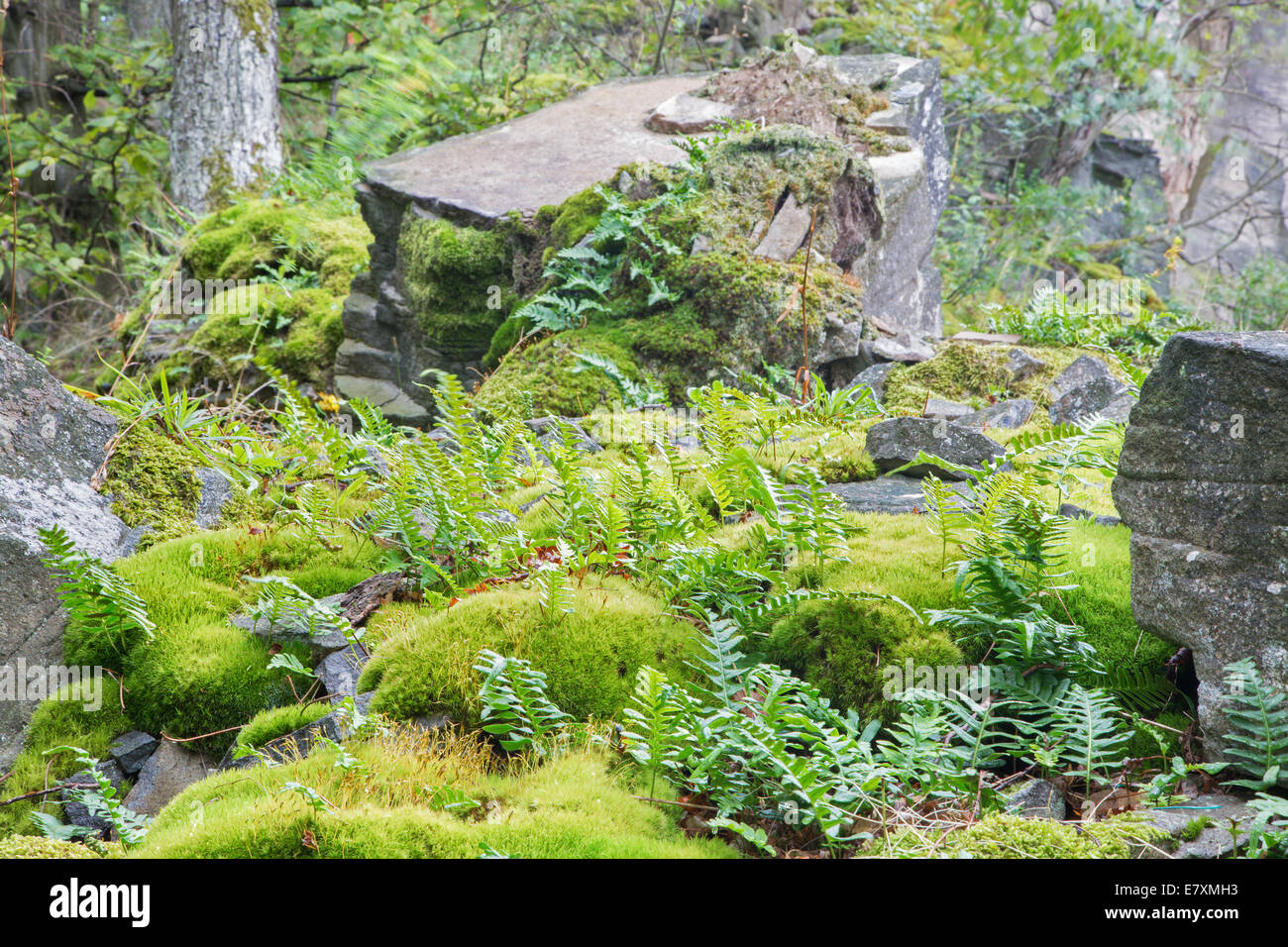 The bracken in the old stone pit - Stock Image