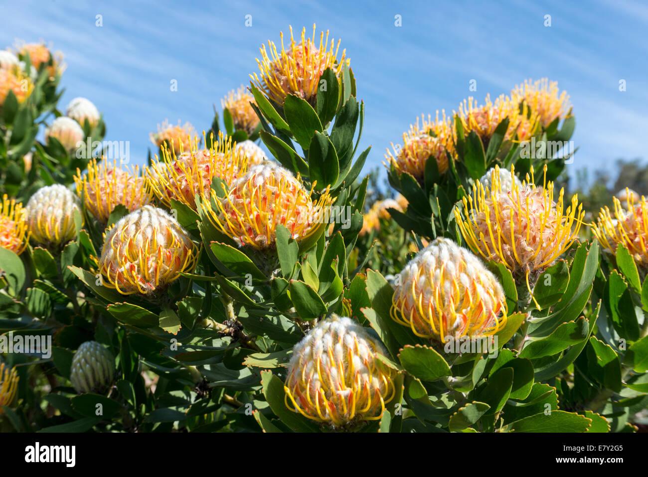Protea inflorescence (Leucospermum conocarpodendron x glabrum), cloeseup, Kirstenbosch Botanical garden, Cape Town, - Stock Image
