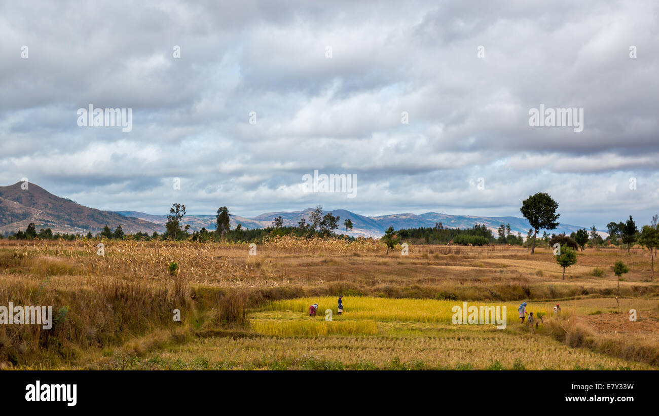 Malagasy men and women working in the fields during harvest time in the central highland regions of Madagascar on - Stock Image