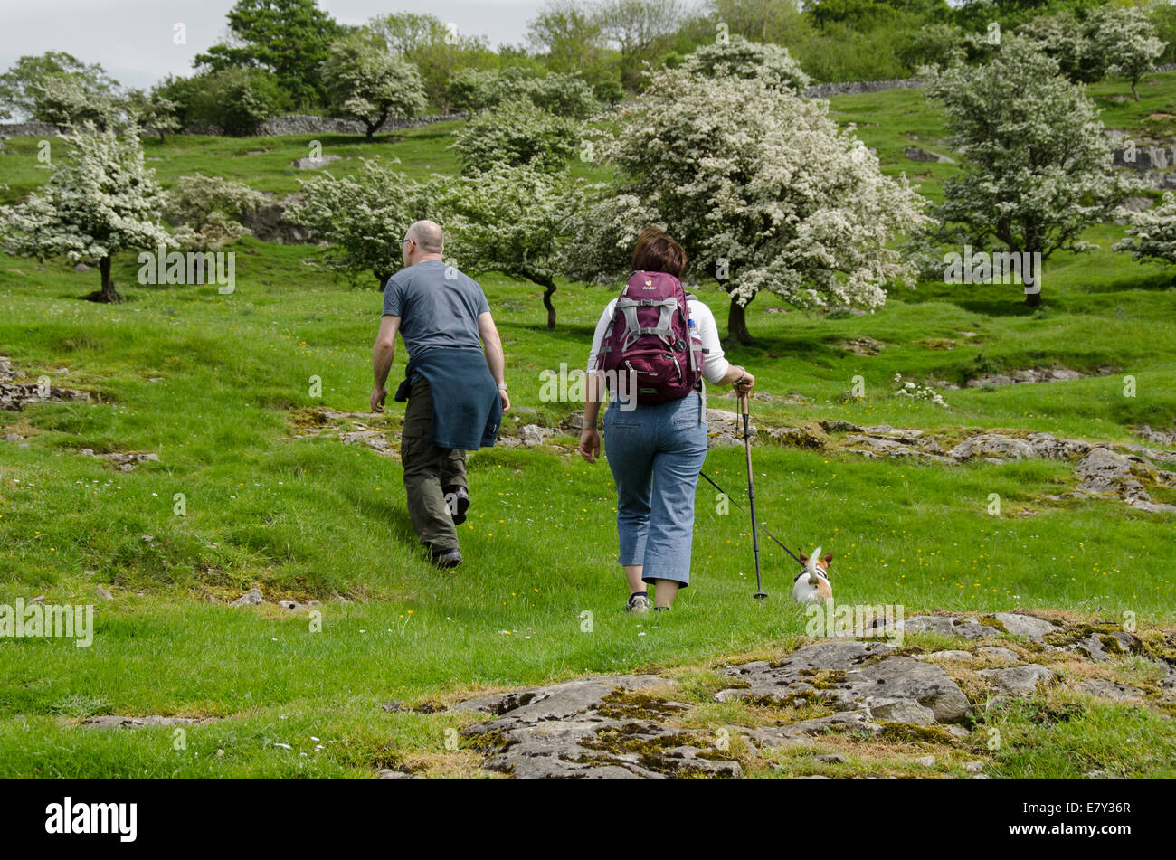 Couple (man & woman) & small dog on lead, walk up grassy hillside slope with flowering hawthorn trees - Oxenber Stock Photo
