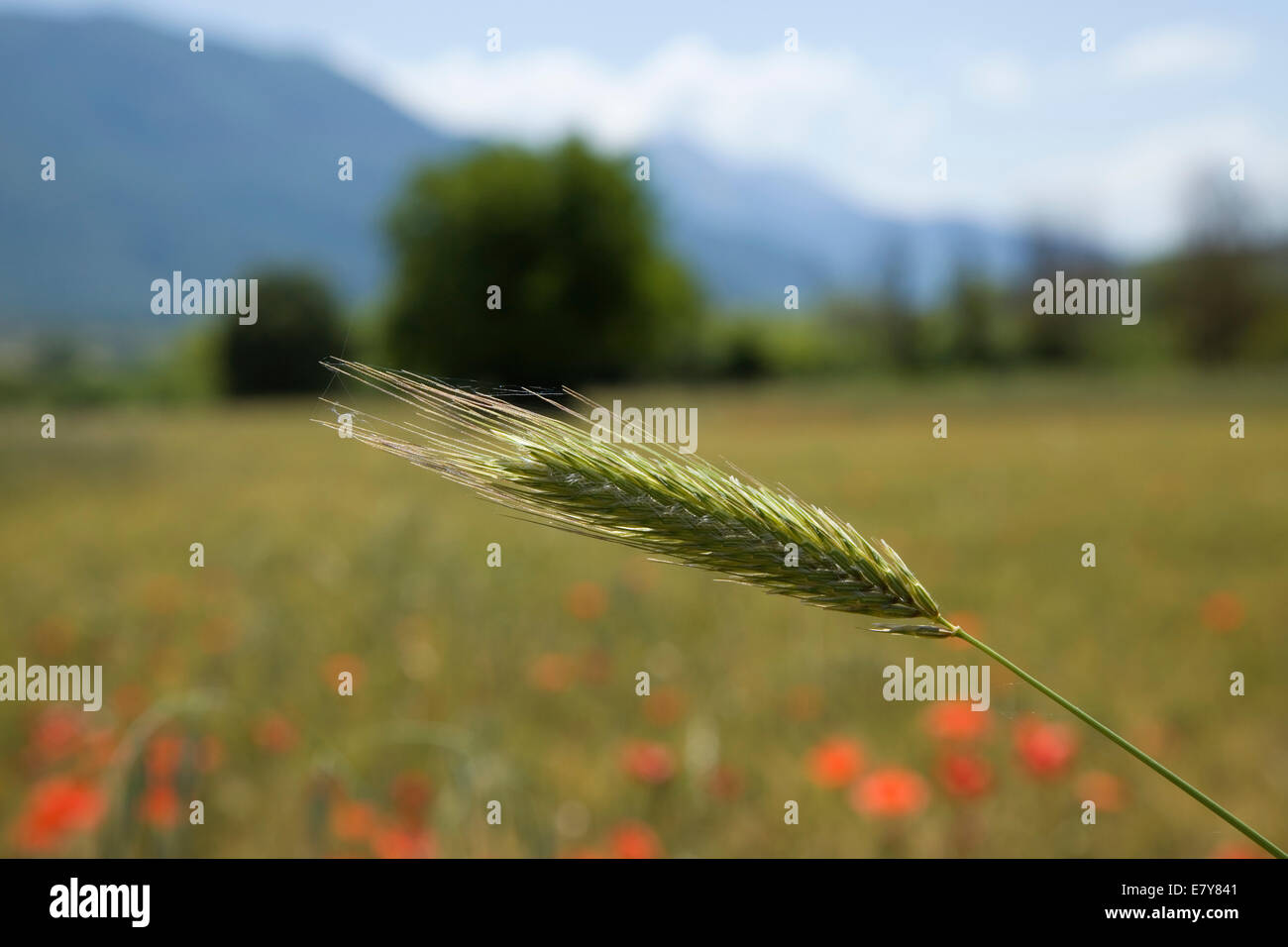 single chaff of wheat growing in a field in a warm and sunny country setting Stock Photo