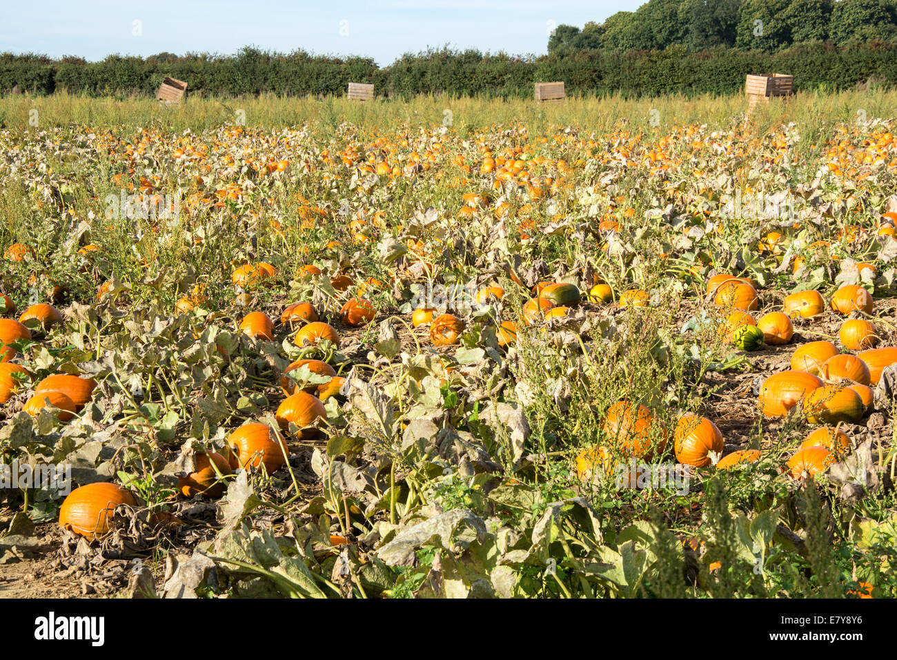 Field of growing pumpkins - Stock Image