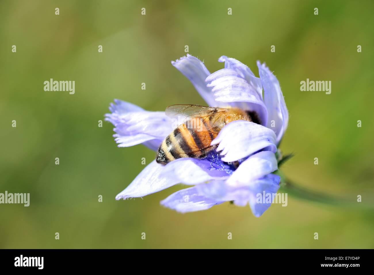 European honey bee inside a blue flower - Stock Image
