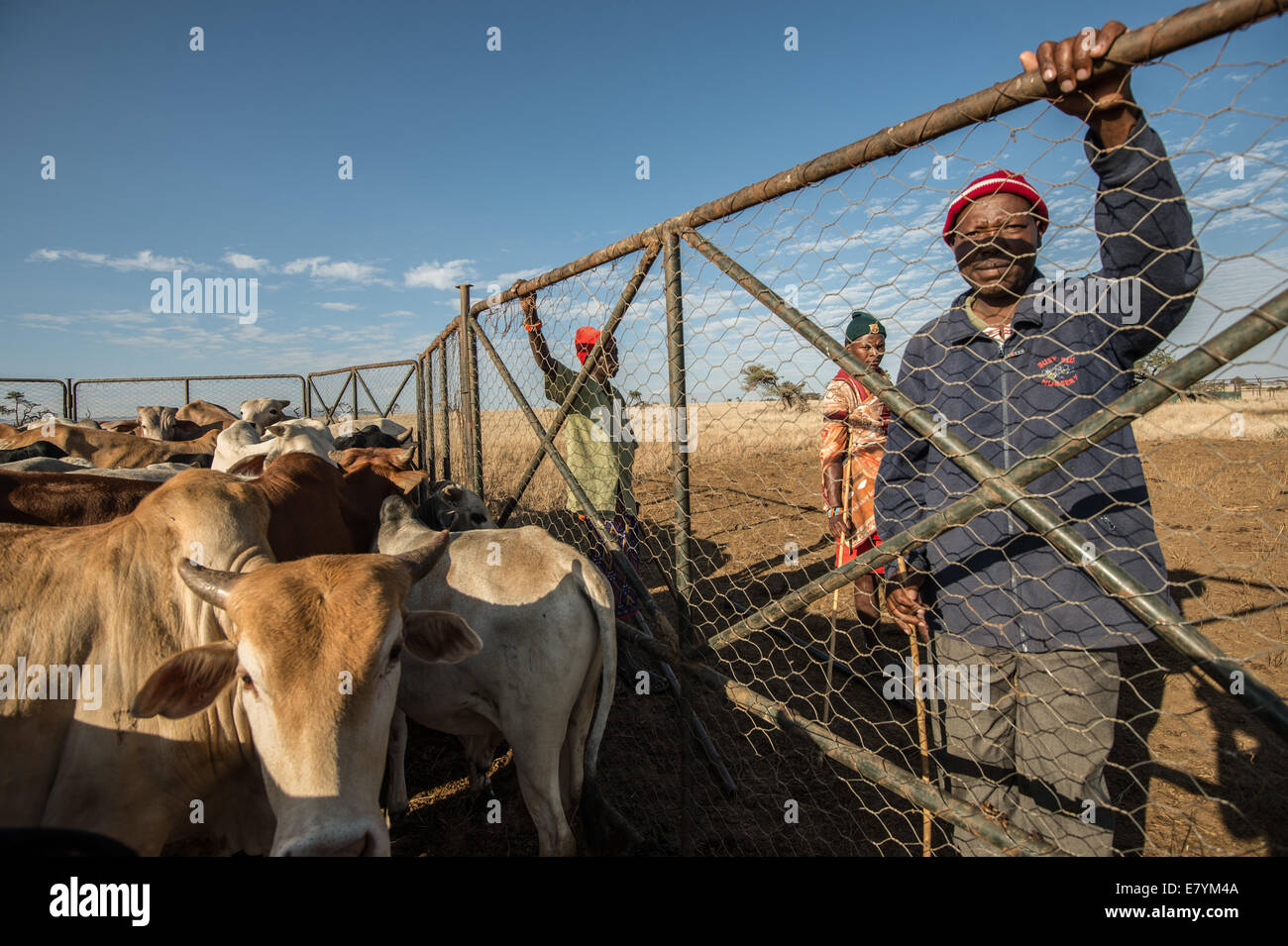 """Sepengo Lendira watches cattle at Lewa Wildlife Conservancy which is part of a """"Livestock to Market"""" business that - Stock Image"""