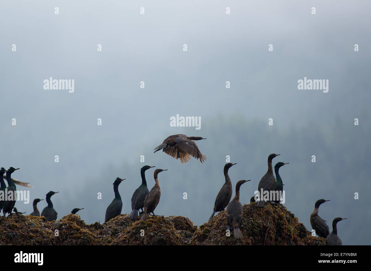 Pelagic Cormorants (Phalacrocorax pelagicus) in the Inian Islands in Tongass National Forest, Alaska. - Stock Image