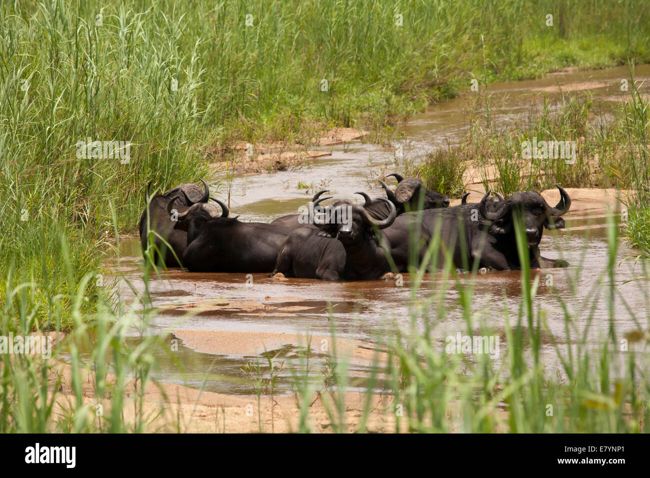 African Water Buffalo staying cool in a stream - Stock Image