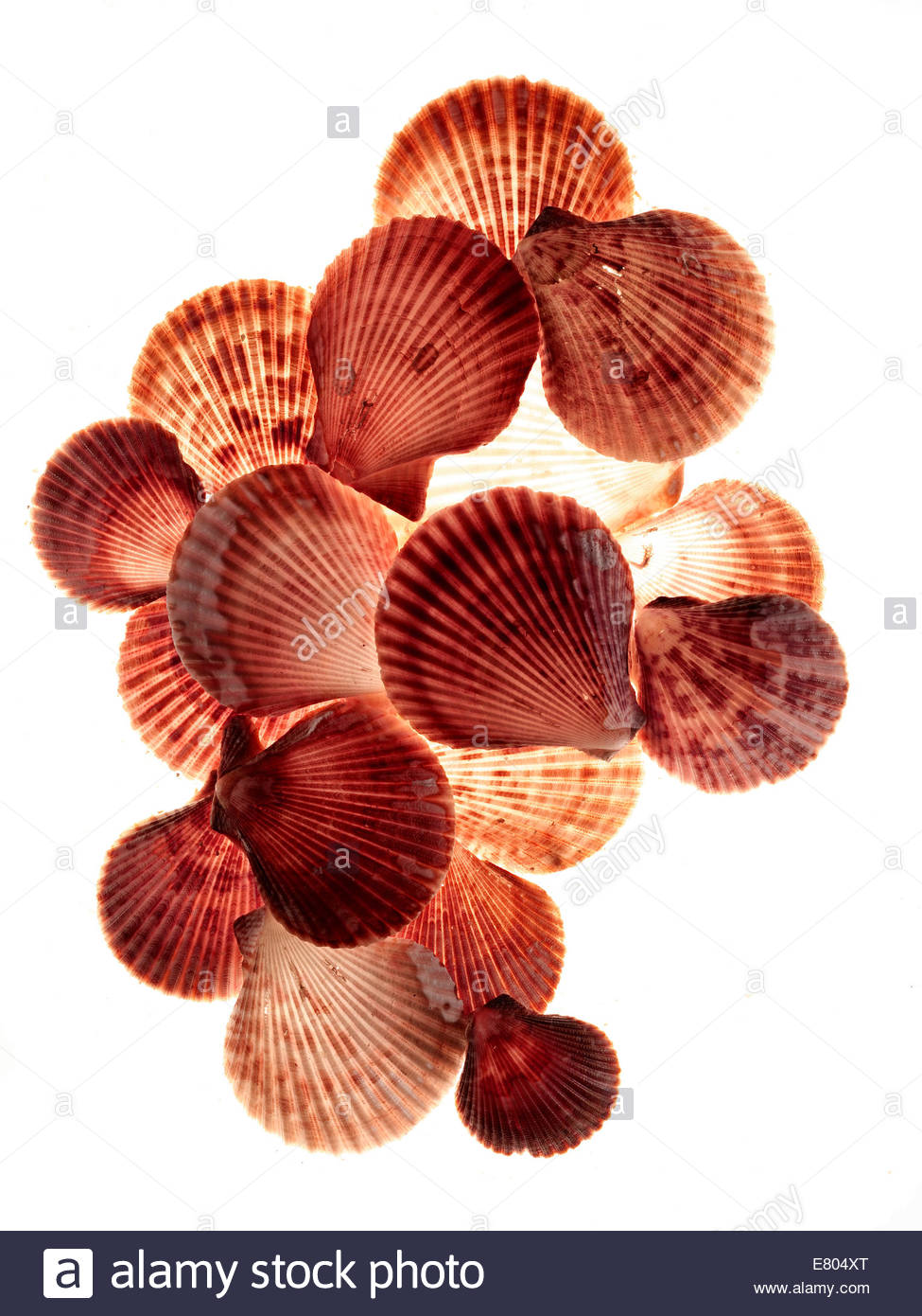 Red & white cockle Sea shells - Stock Image
