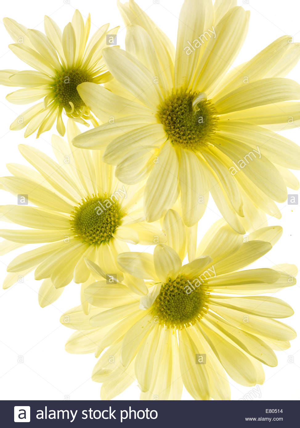 Gerbera daisy stem on white Background - Stock Image