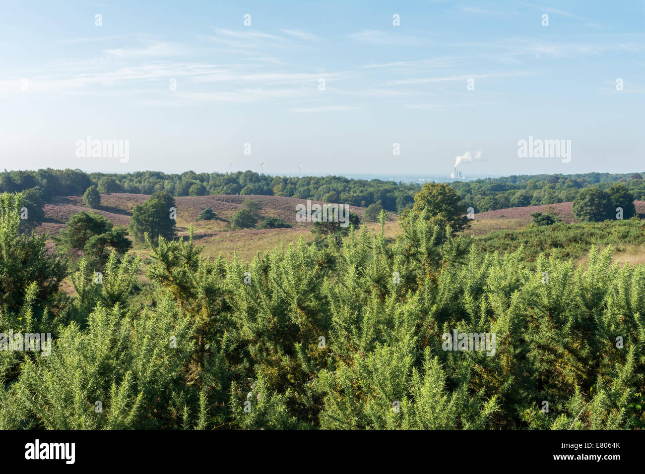 Looking out over gorse bushes onto dutch heathland Stock Photo