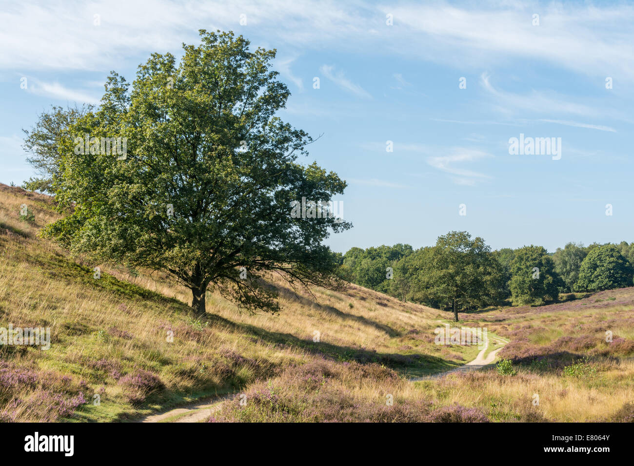Tree on side of hill along a path in dutch heathland Stock Photo