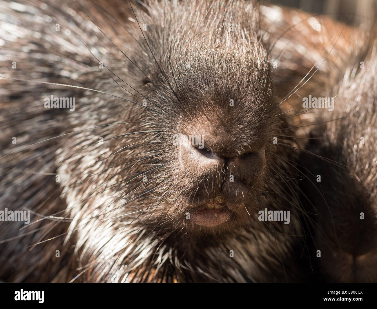 Closeup facial shot of the malayan porcupine - Stock Image