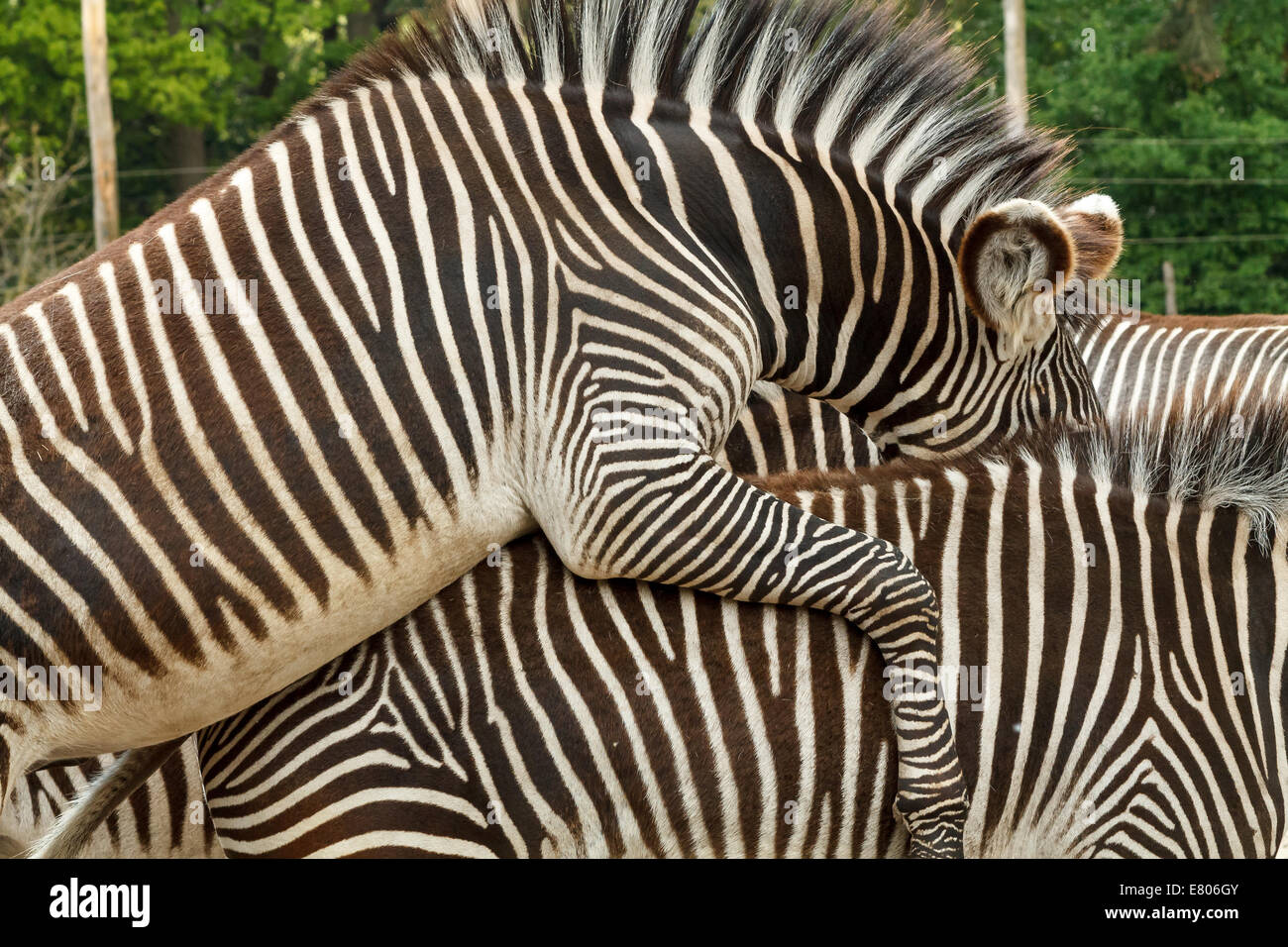 Two zebras pairing. This shot was taken at the zoo in Holland. Beautiful pattern with the black and white stripes. - Stock Image