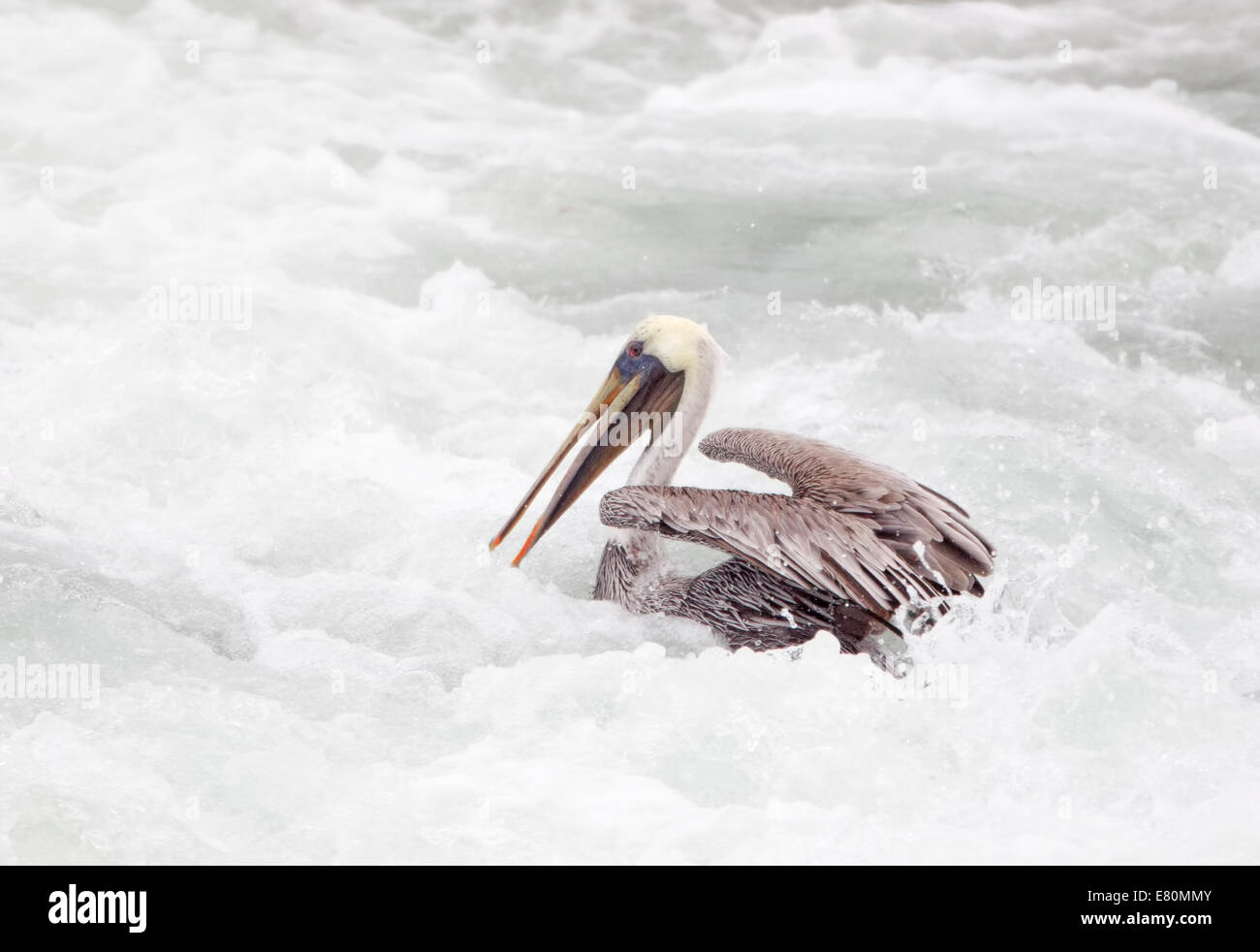 Brown Pelican in White Water of Crashing Wave - Stock Image