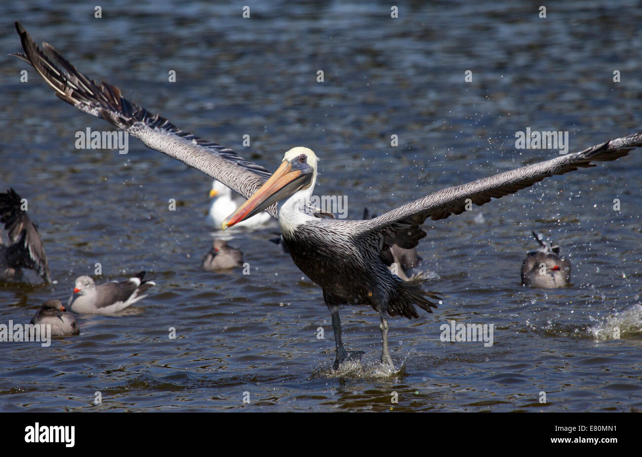Brown Pelican Takeoff - Stock Image