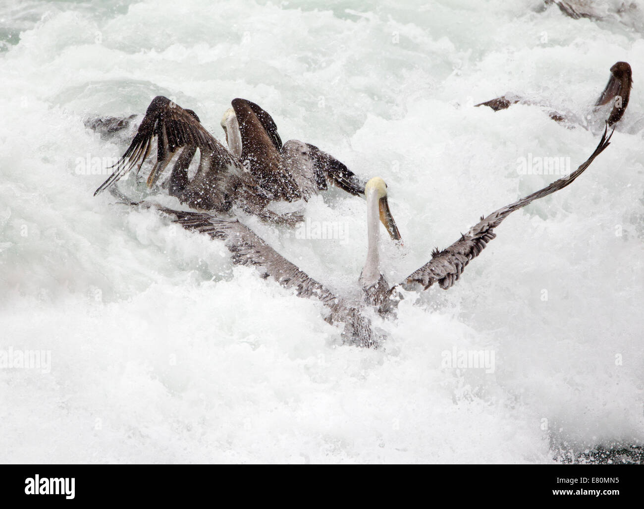 Brown Pelicans Swamped in a Crashing Wave - Stock Image