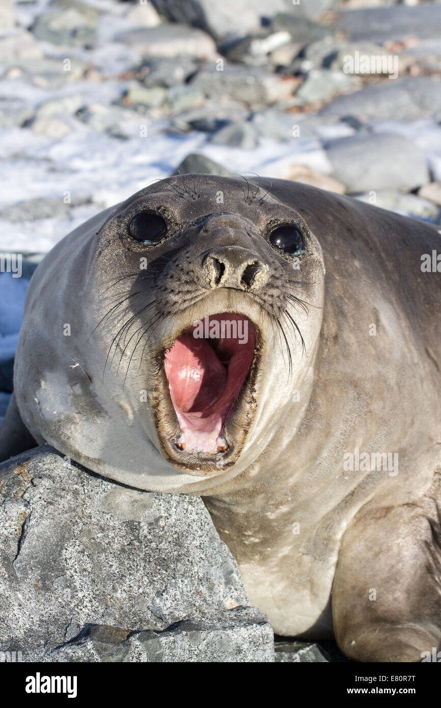 Portrait of a young southern elephant seal who growls a summer day - Stock Image