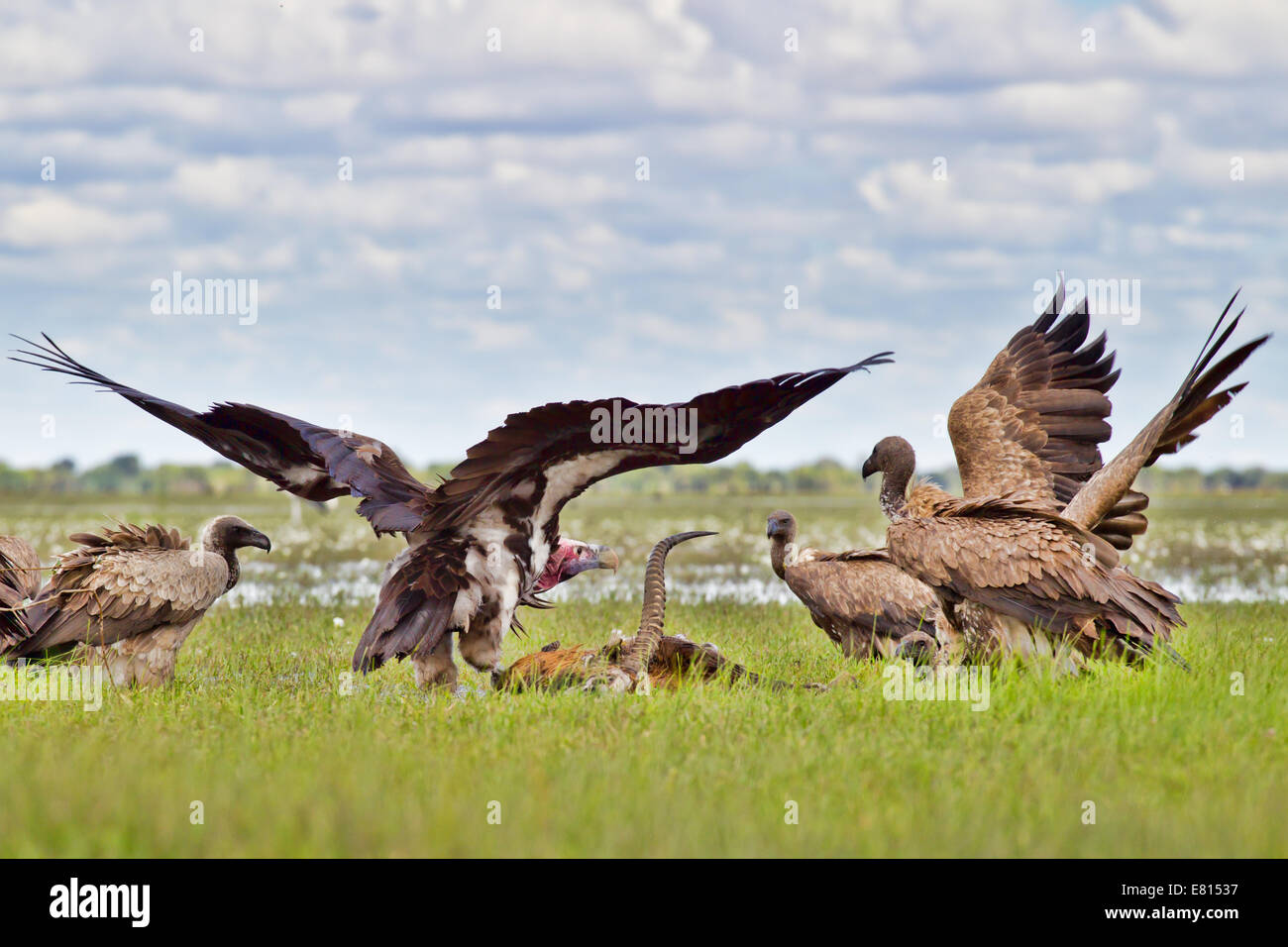 Two species of vultures fight over a black lechwe carcass in the flooded grasslands of Bangweulu Wetlands - Stock Image