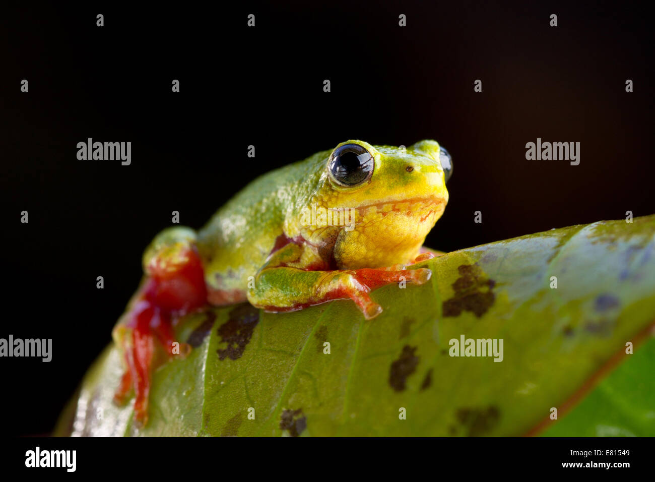 A brightly colored reed frog clings to a leaf in Bangweulu Wetlands, Zambia - Stock Image