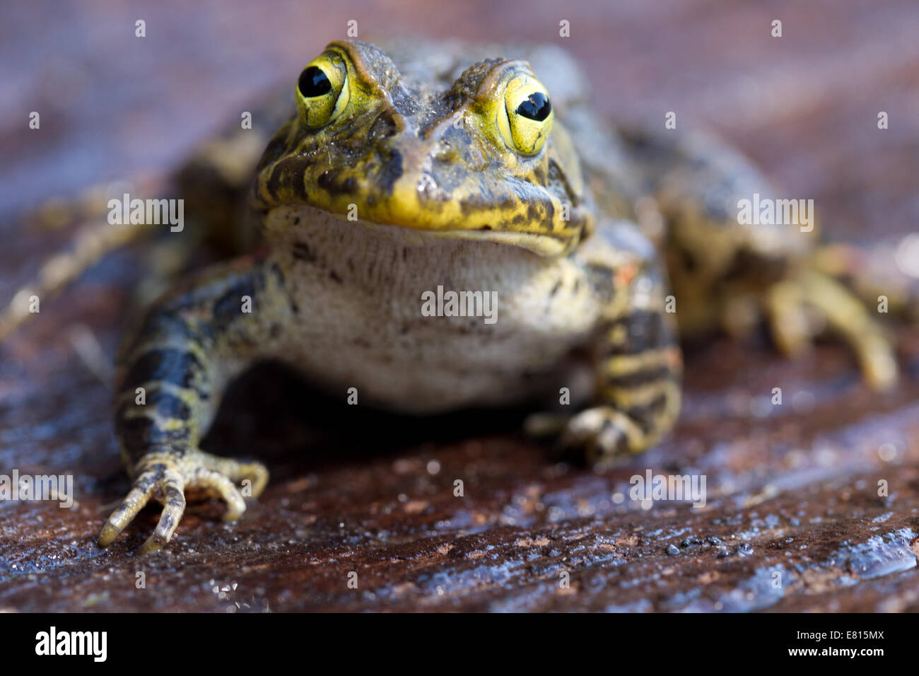 A large yellow frog sits on a smooth piece of wood in Bangweulu Wetlands, Zambia - Stock Image