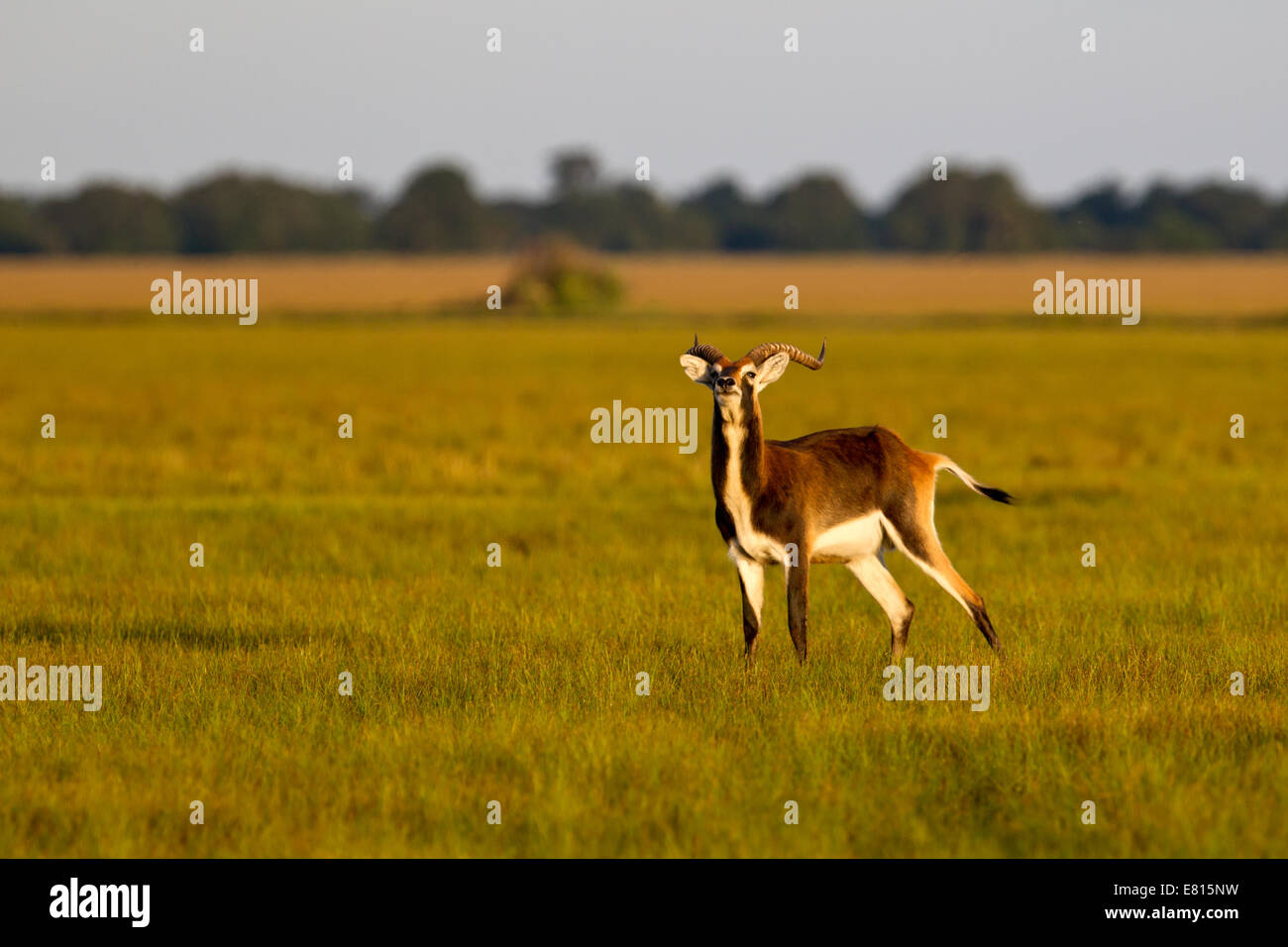 Black lechwe are a water-living antelope endemic to Bangweulu Wetlands in Zambia - Stock Image