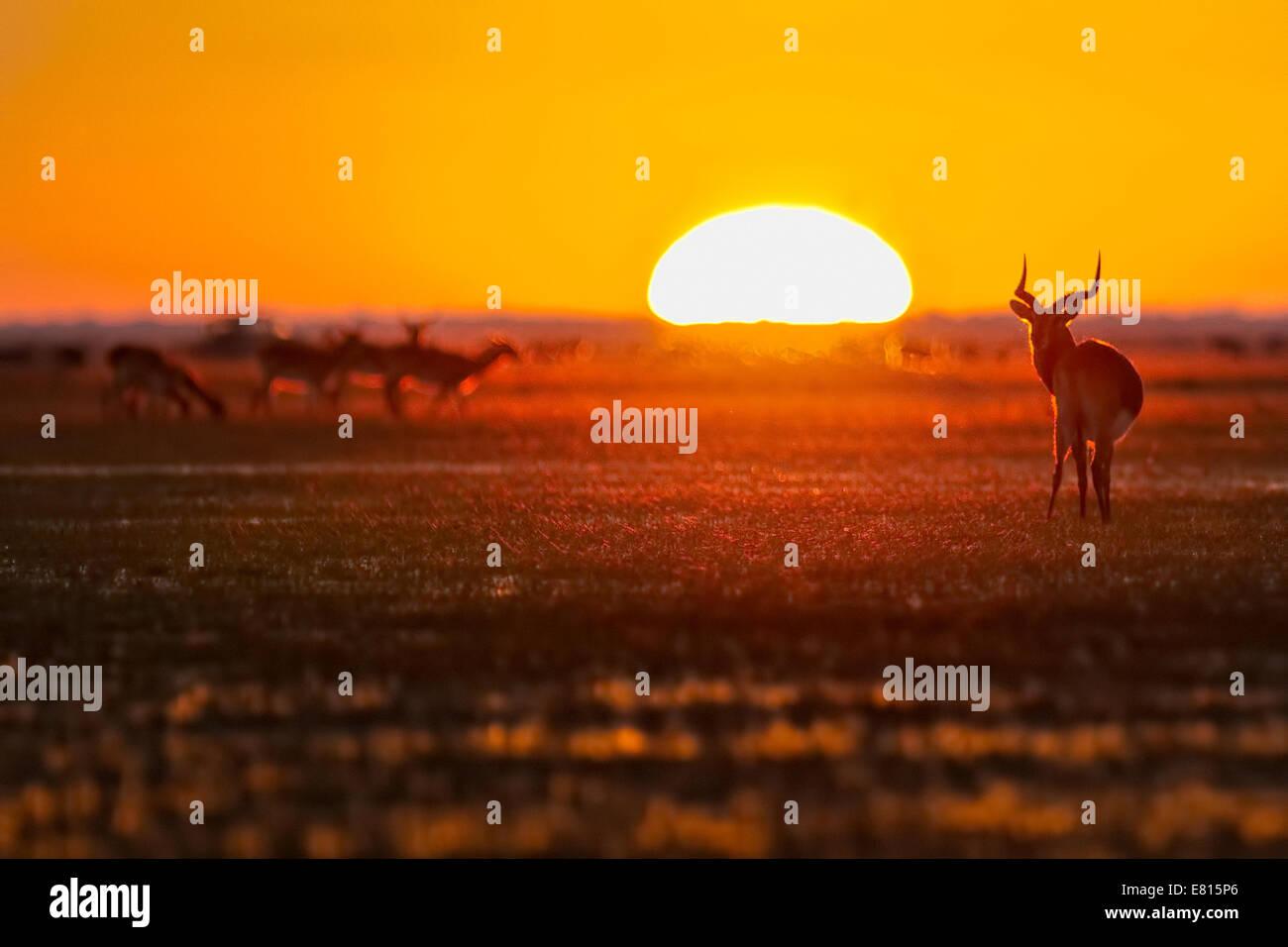 A herd of endemic black lechwe grazes at sunrise on the flood plains of Bangweulu Wetlands Stock Photo