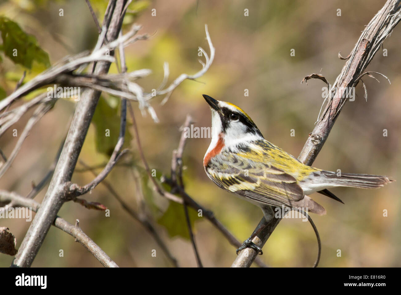 Chestnut-sided warbler - Dendroica pensylvanica Stock Photo