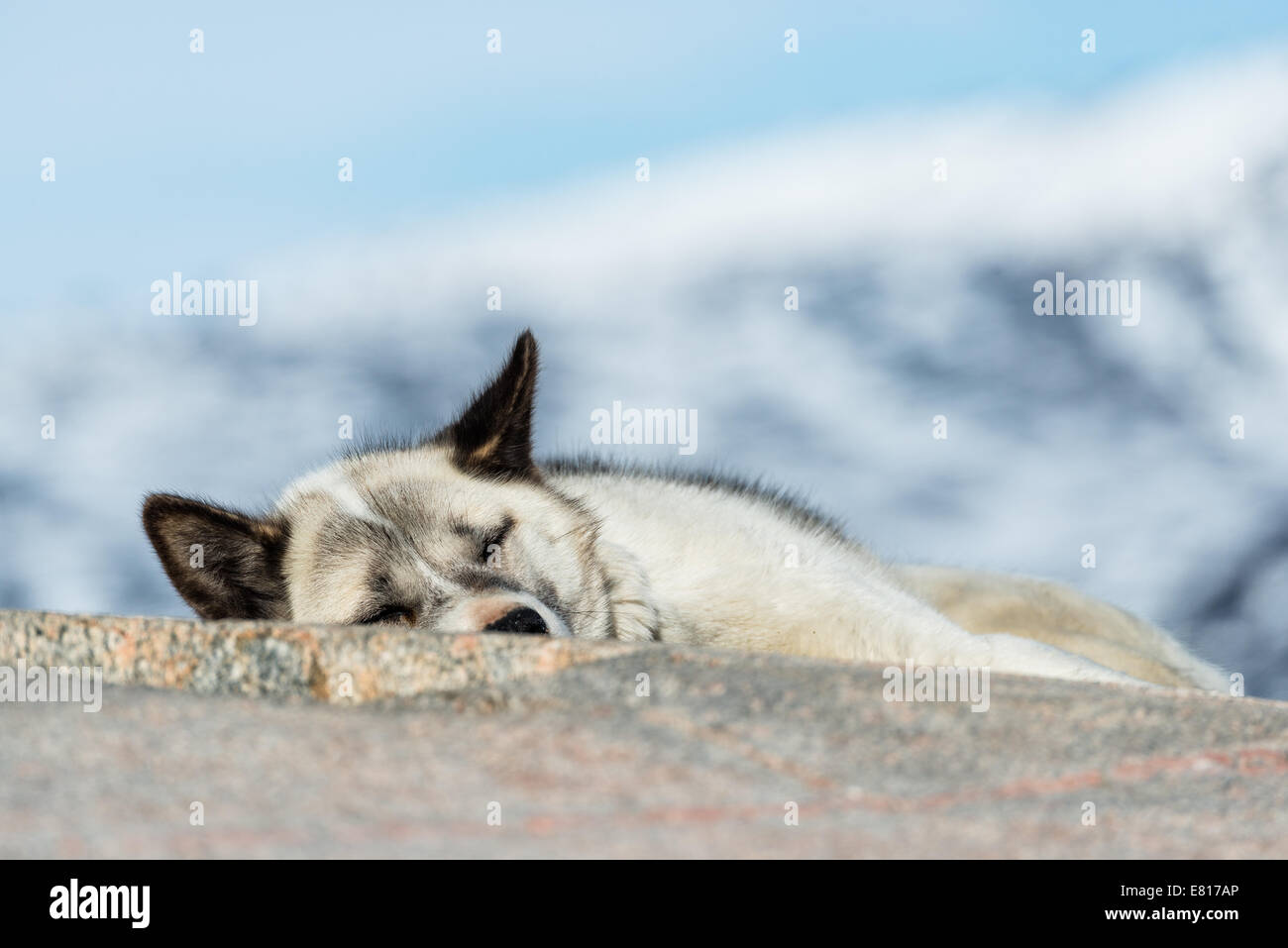 Sled dog asleep on a rock. Ilulissat, Greenland - Stock Image