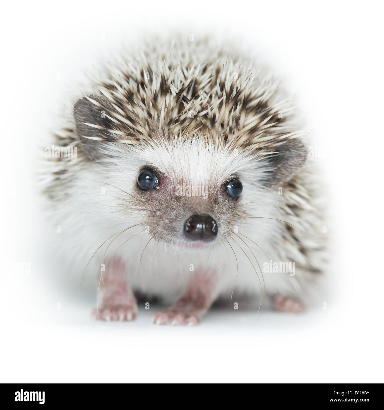 Atelerix albiventris, African pygmy hedgehog. in front of white background, isolated. - Stock Image
