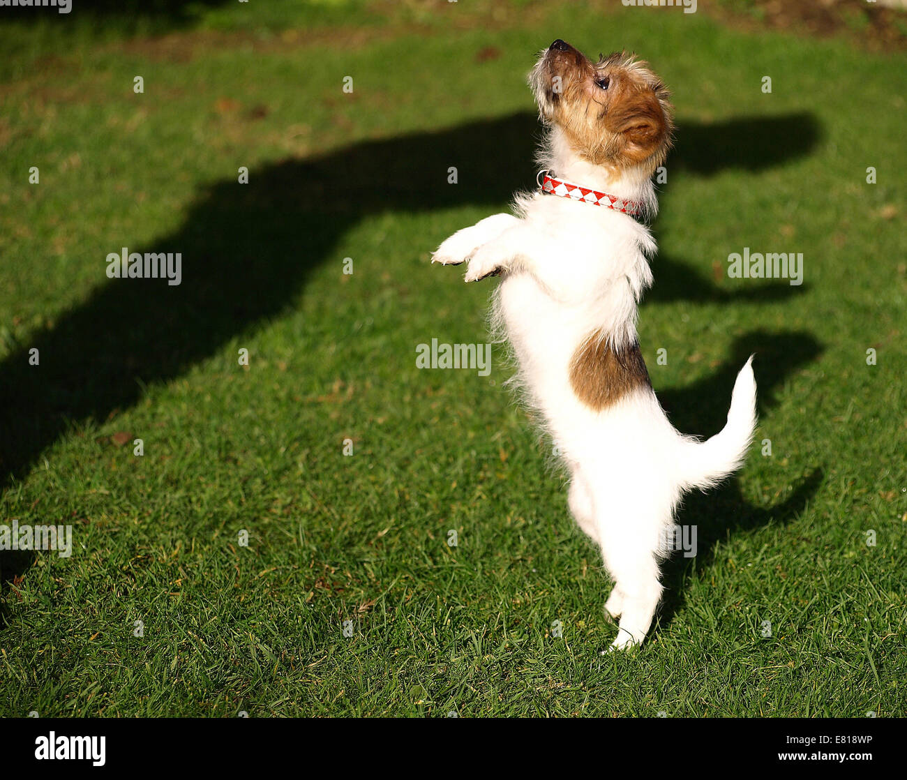Yorkie Russell Puppy Stock Photo 73787666 Alamy