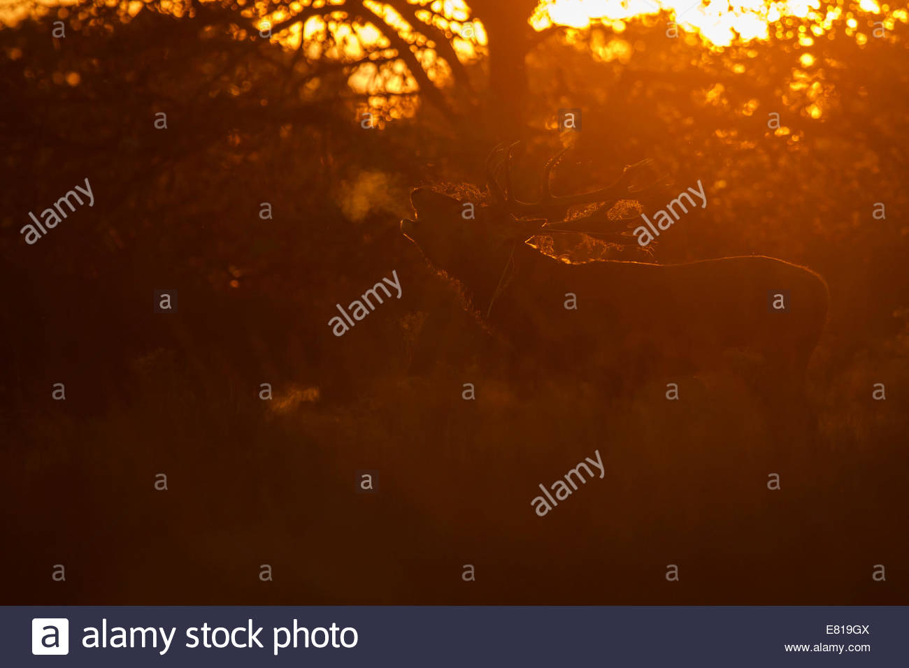 London, UK. 28th Sep, 2014. Richmond Park, London, UK. A Red Deer Stag bellows at sunset during the annual rut. Stock Photo