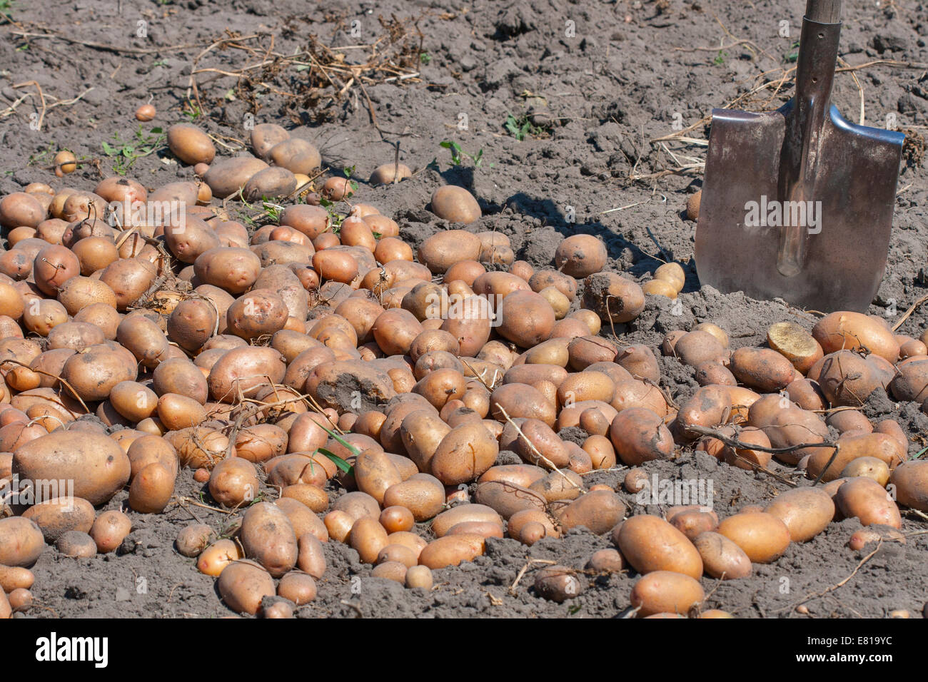 shovel and summer potato crop in the garden Stock Photo: 73788496 ...