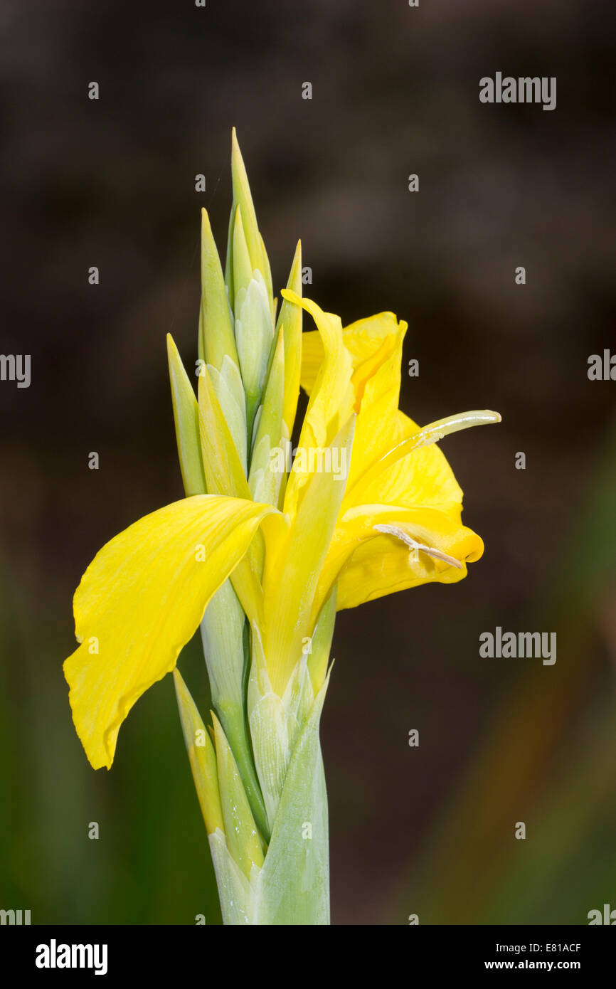 Yellow blooms of the water Canna, 'Ra', good for moist borders and as a marginal plant - Stock Image