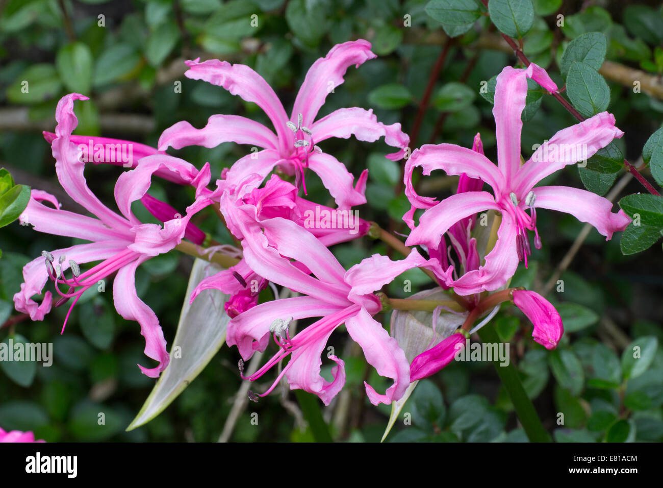 Autumn Flowers Of The Half Hardy South African Bulb Nerine Flexuosa
