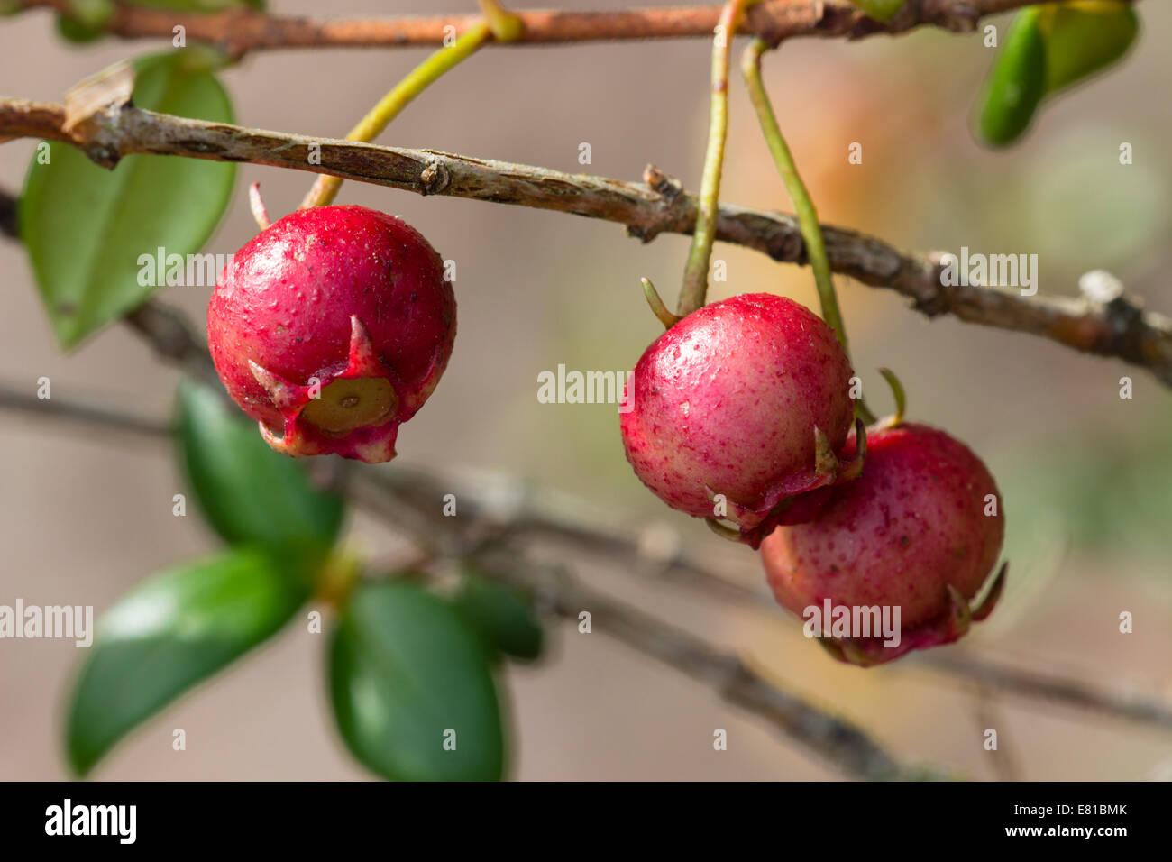 Autumn fruit of the Chilean guava, Ugni molinae - Stock Image