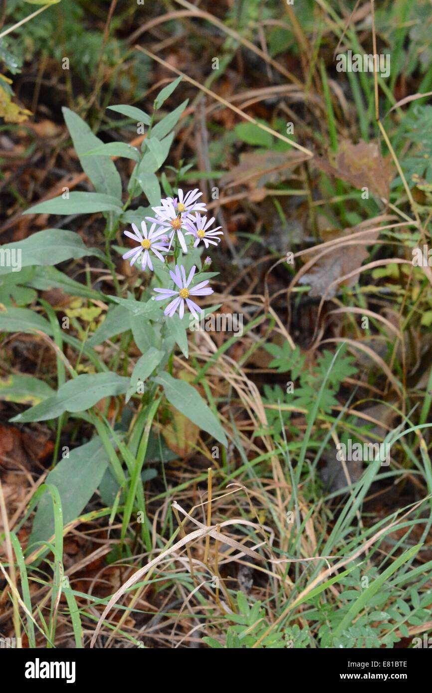Hoary Asters growing along side trail in Sandia Mountains of New Mexico - USA - Stock Image