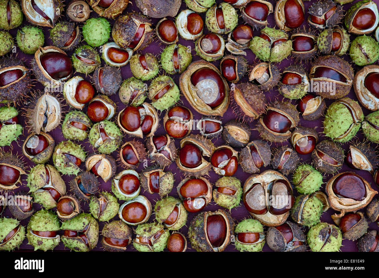 Aesculus Hippocastanum seed. Horse chestnuts. Conkers pattern. - Stock Image