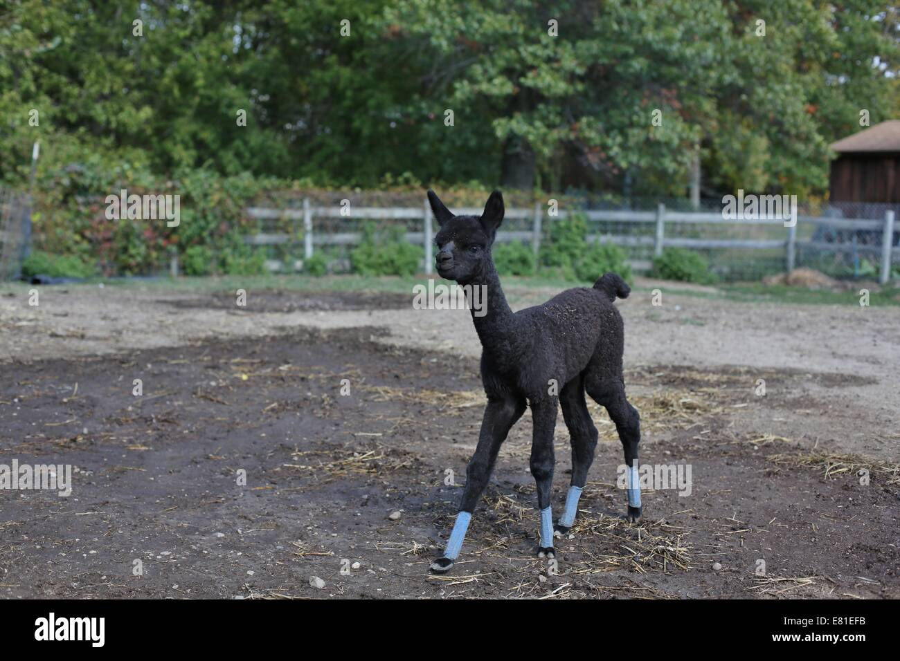 A young alpaca with bandages on her feet. - Stock Image