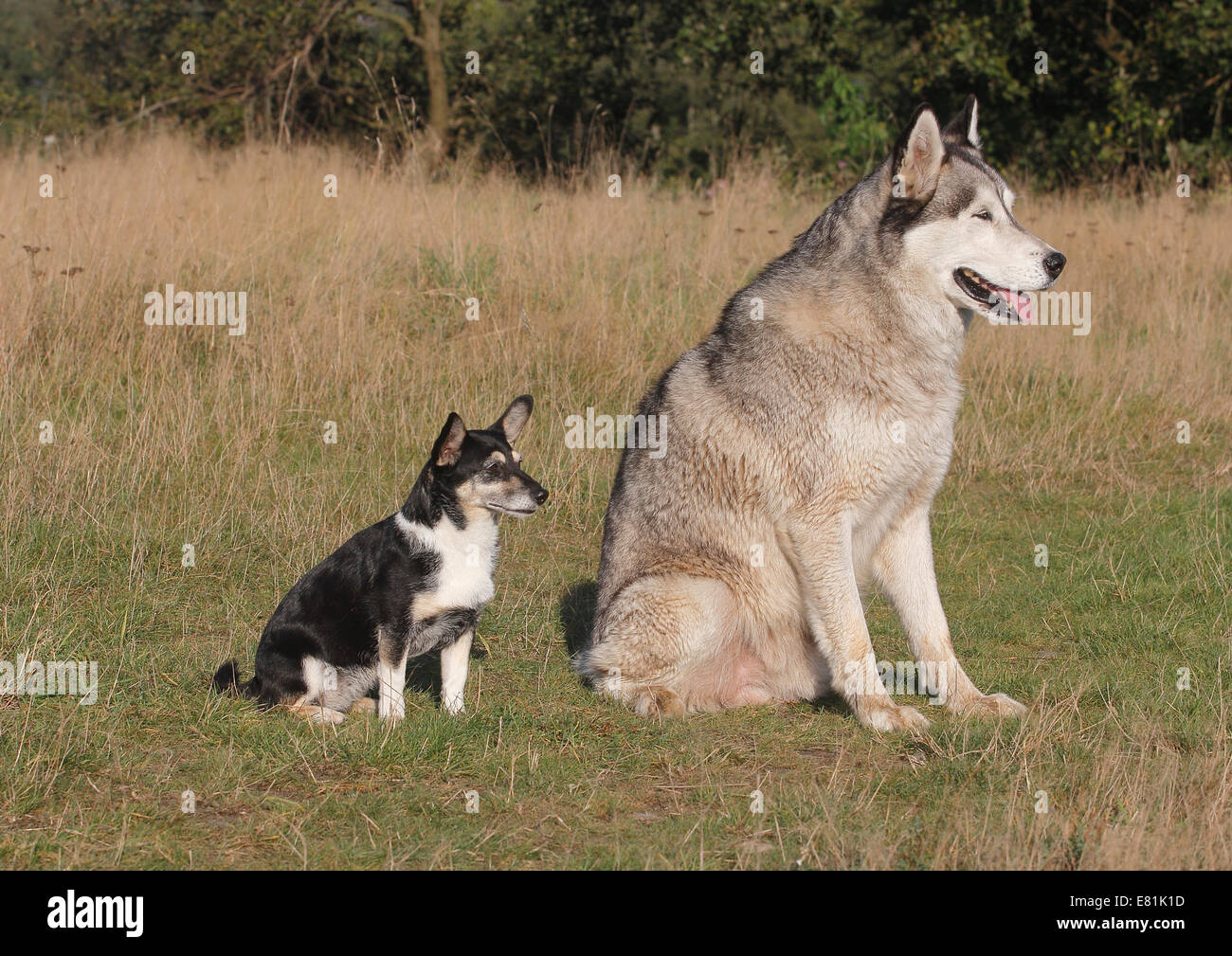 Jack Russell Yorkie Mixed Breed Sitting On A Meadown With Siberian Husky North Rhine Westphalia Germany