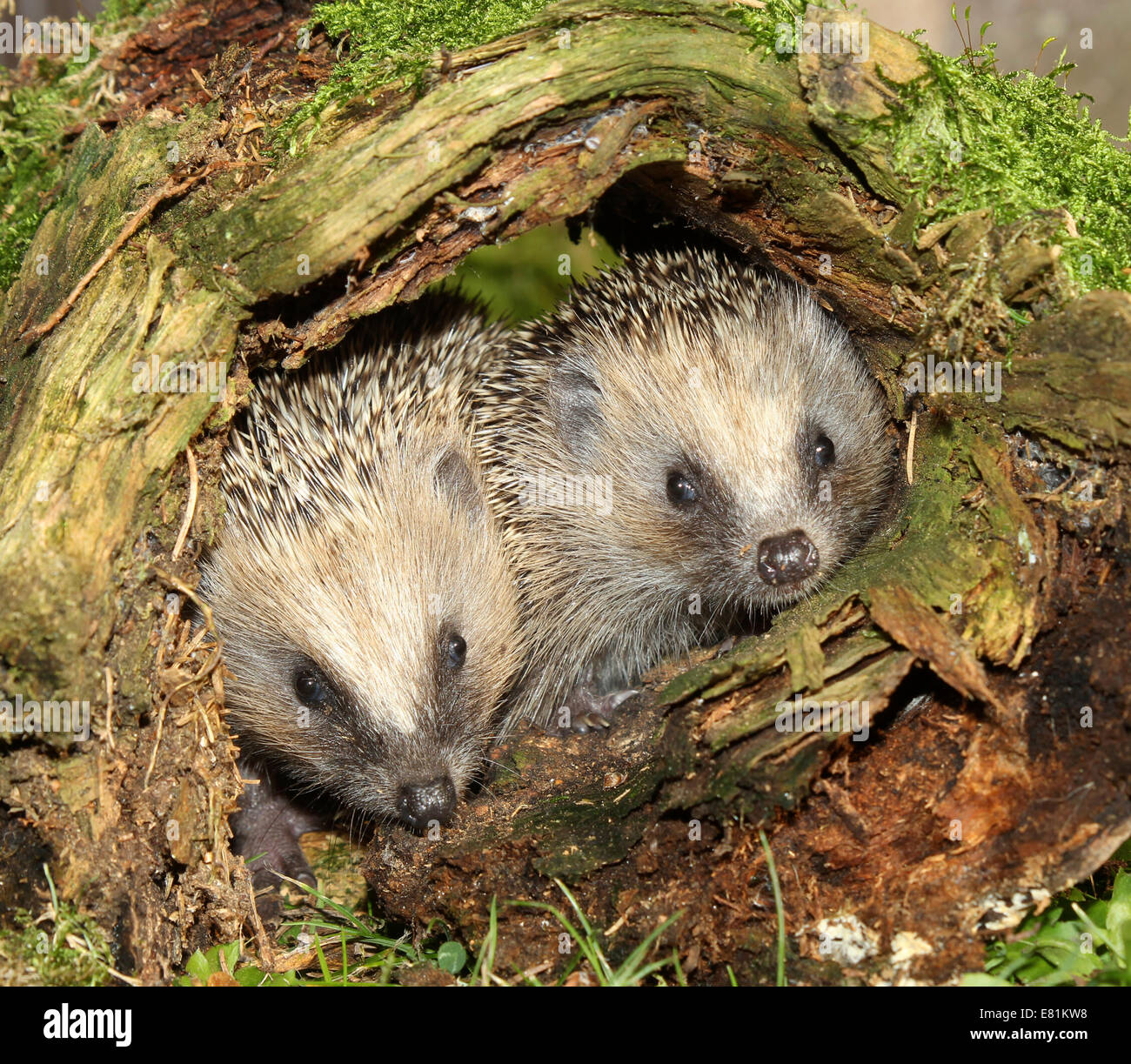 Hedgehog (Erinaceus europaeus), young animals in old tree stump, Allgäu, Bavaria, Germany, - Stock Image