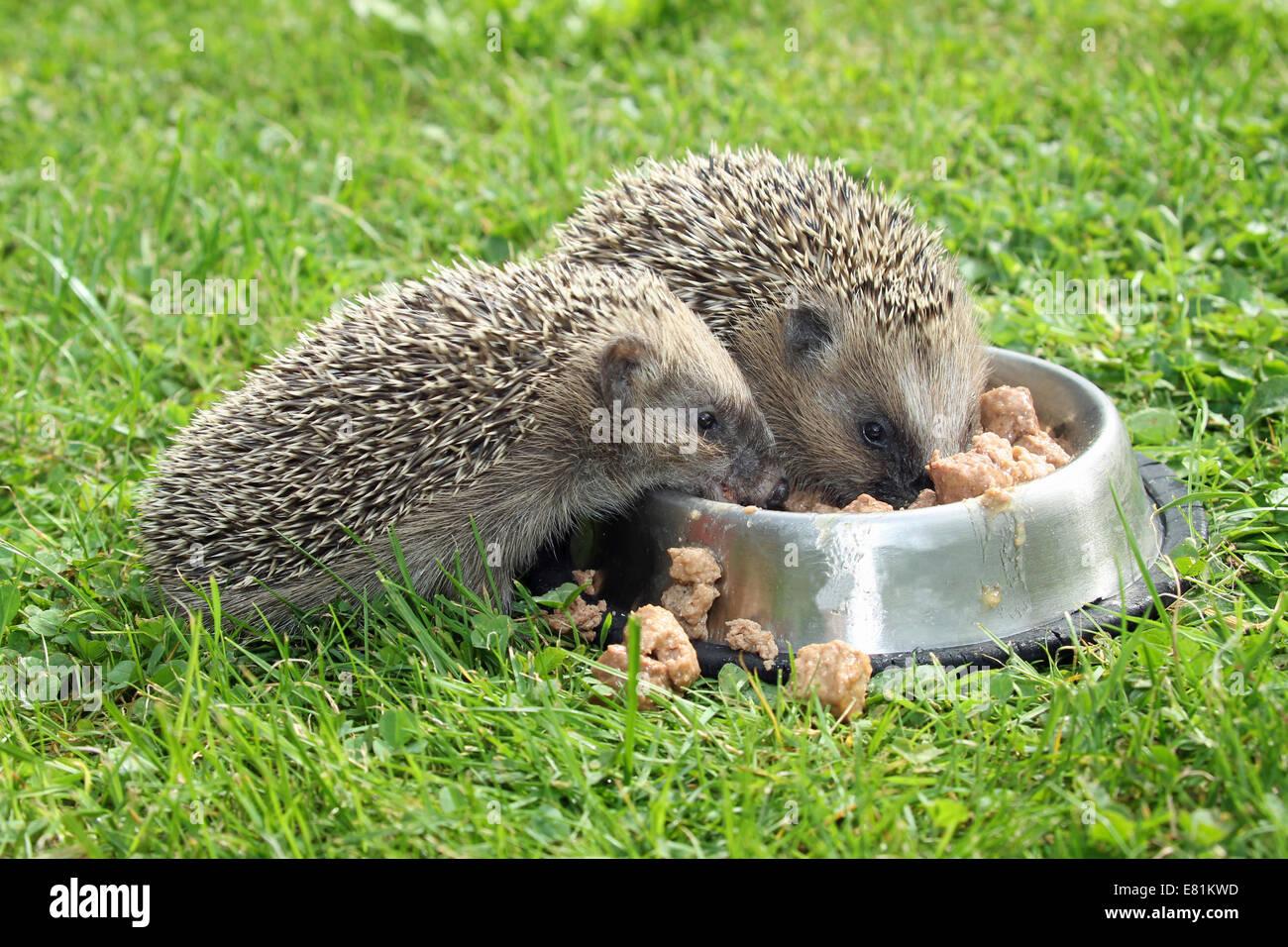 Hedgehog (Erinaceus europaeus), young animals, 4 weeks, feeding from feeding bowl in the garden, Allgäu, Bavaria, - Stock Image