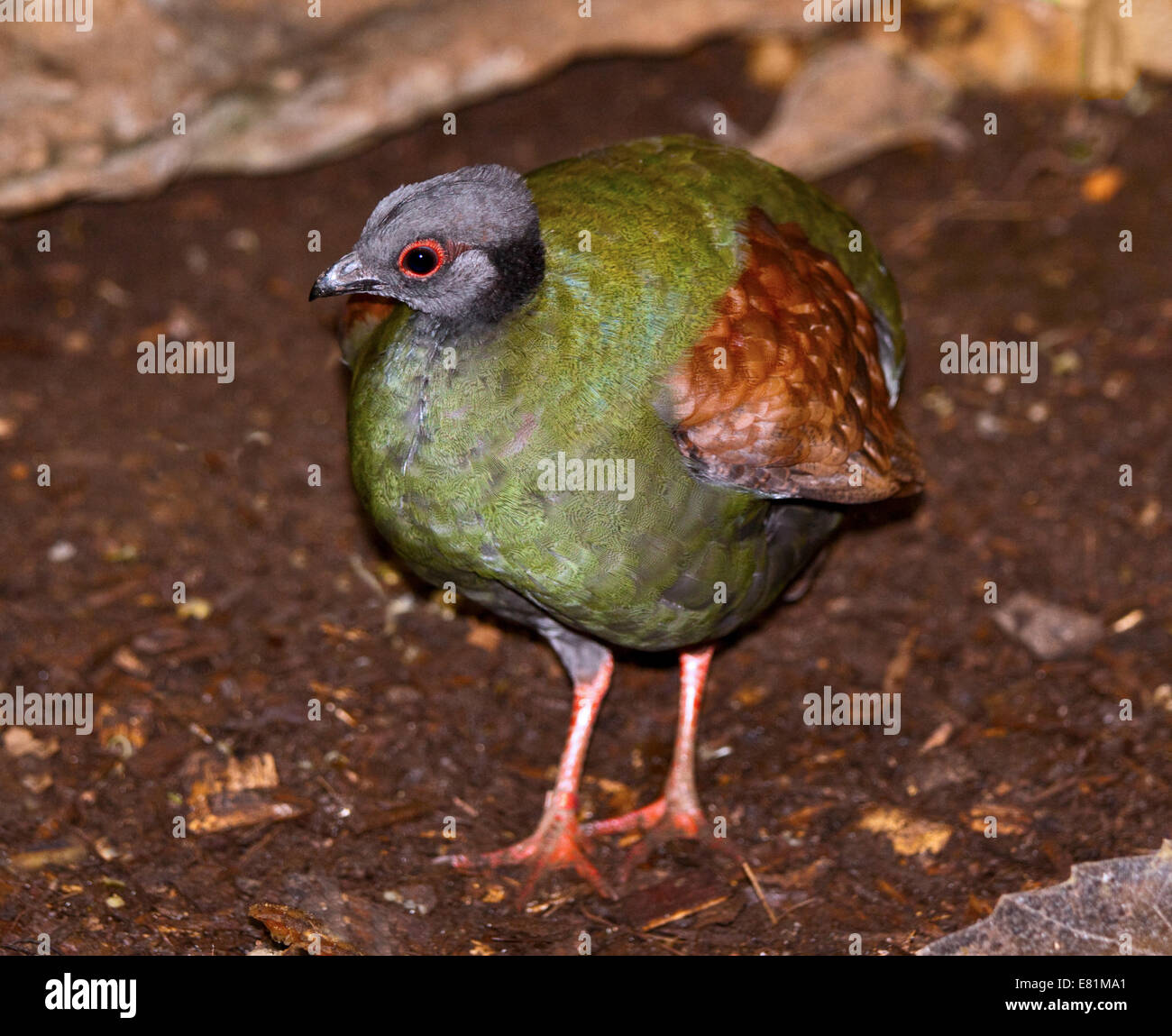 Crested Wood Partridge / Roul Roul Partridge (rollulus rouloul) female - Stock Image