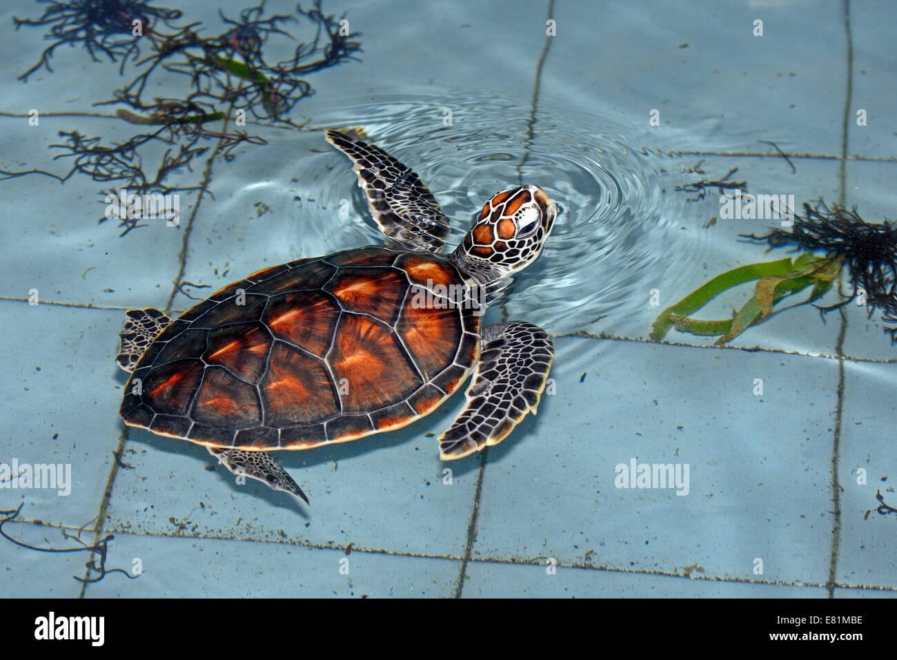 Olive ridley sea turtle (Lepidochelys olivacea), approximately 1 year, breeding station, Bali, Indonesia - Stock Image