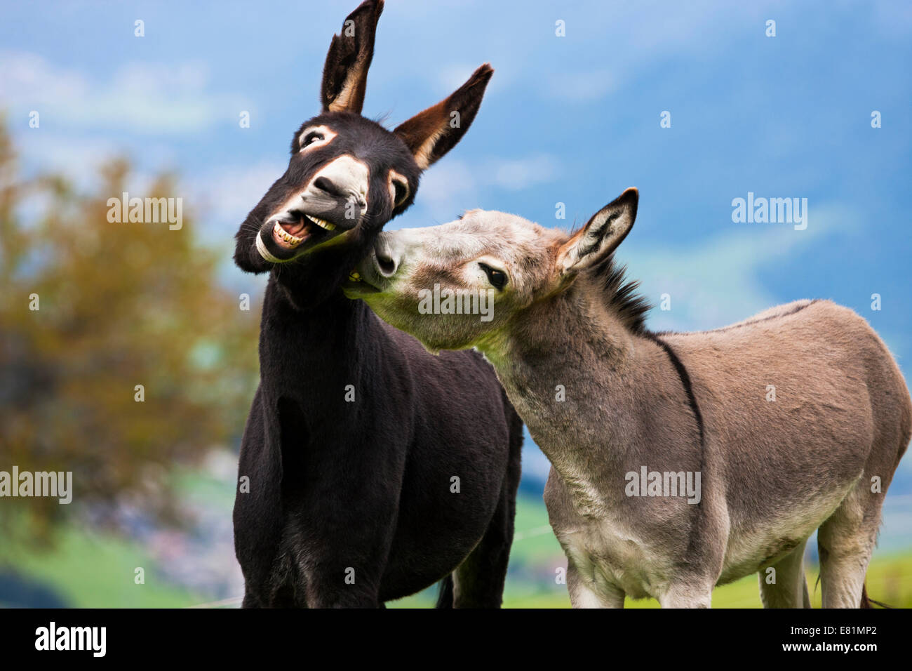 Donkeys, half-breeds, playing together, North Tyrol, Austria - Stock Image
