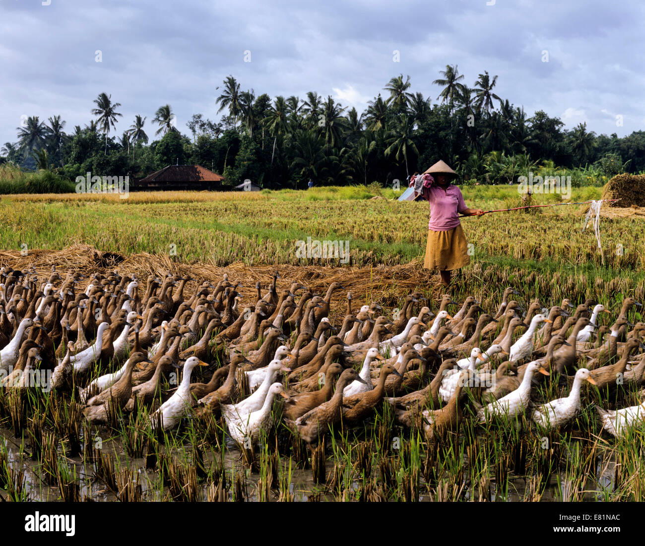 Farmer with a gaggle of indonesian runner ducks, Ubud, Bali, Indonesia - Stock Image