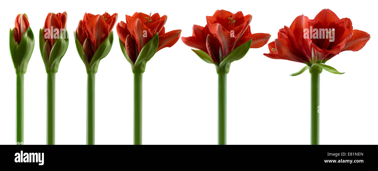 Amaryllis, flowers in various stages of growth, from the bud opening to flowering - Stock Image
